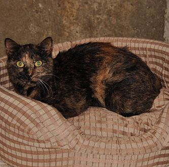 Domestic Shorthair Cat for adoption in Sunrise Beach, Missouri - Miss Lilly