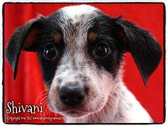 Rat Terrier Mix Puppy for adoption in Simi Valley, California - Shivani