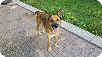 German Shepherd Dog/Labrador Retriever Mix Dog for adoption in Fenton, Missouri - Rusty