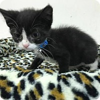 Domestic Shorthair Kitten for adoption in Beckley, West Virginia - Sylvia