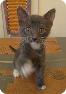 Domestic Shorthair Kitten for adoption in Columbia, South Carolina - Bence
