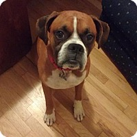 Boxer Dog for adoption in Troy, Michigan - Barney -adoption pending