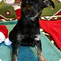 Adopt A Pet :: Roxy - Santa Ana, CA