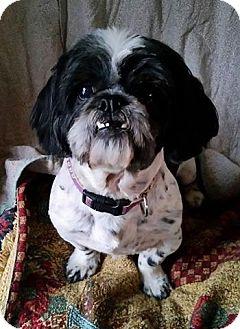 Shih Tzu Mix Dog for adoption in Urbana, Ohio - Dino Davis
