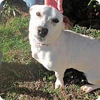 Adopt A Pet :: Jigs Sweet Female  Great/Campanion/ Family Doggie - Rowayton, CT