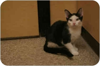 Domestic Shorthair Cat for adoption in Orlando, Florida - Pedro