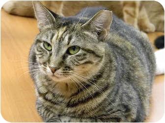 Domestic Shorthair Cat for adoption in Bonita Springs, Florida - Bella