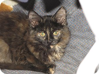 Domestic Mediumhair Kitten for adoption in Richfield, Ohio - Jasmine & Jacelyn