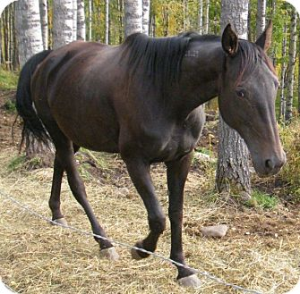 Standardbred for adoption in Sundre, Alberta - Neeka