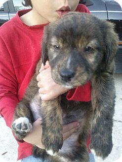 Labrador Retriever Mix Puppy for adoption in Largo, Florida - Taylor