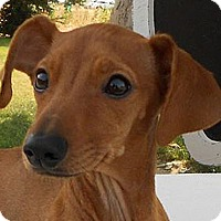 Adopt A Pet :: Mowgli - Yorba Linda, CA