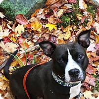 Adopt A Pet :: Buzz ~ The whole package! - Caldwell, NJ