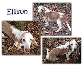 Basset Hound Dog for adoption in Marietta, Georgia - Ellison