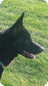 German Shepherd Dog Mix Dog for adoption in Kouts, Indiana - Tinsel