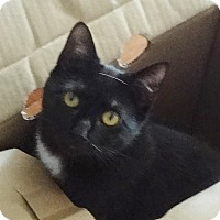 Adopt A Pet :: BRENDALIE LOVE BUG KITTY - New York, NY