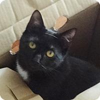 Adopt A Pet :: BRENDALIE-LOVE BUG KITTY'15 - New York, NY