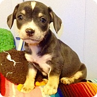 Adopt A Pet :: Sunday (ARSG) - Santa Ana, CA