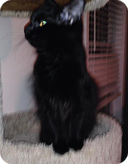Domestic Longhair Kitten for adoption in Savannah, Georgia - Carrie
