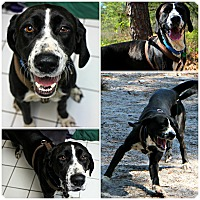 Adopt A Pet :: Cookie - Forked River, NJ