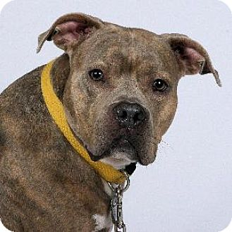 American Staffordshire Terrier Mix Dog for adoption in Richardson, Texas - Big Girl