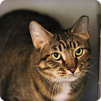 Domestic Shorthair Cat for adoption in Lincoln, Nebraska - Max Potter