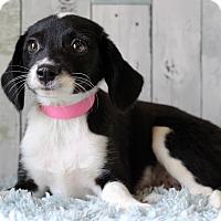 Adopt A Pet :: Deliliah - Waldorf, MD