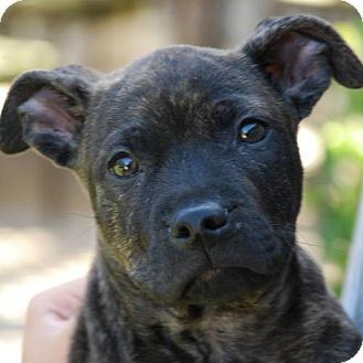Pit Bull Terrier Mix Dog for adoption in Sunnyvale, California - Clyde