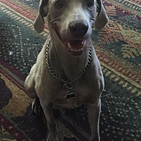 Weimaraner Mix Dog for adoption in Grand Haven, Michigan - Austin