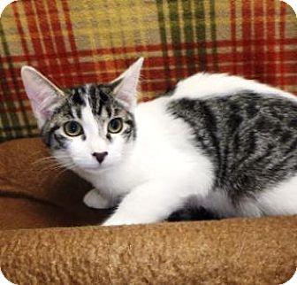 Domestic Shorthair Kitten for adoption in Apple Valley, California - Caitlyn #159863