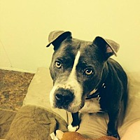 Pit Bull Terrier Mix Dog for adoption in Tucson, Arizona - Topaz