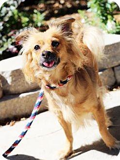 Pomeranian/Chihuahua Mix Dog for adoption in Atlanta, Georgia - Sasha