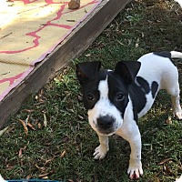 Pit Bull Terrier Mix Puppy for adoption in Durham, North Carolina - Matthew
