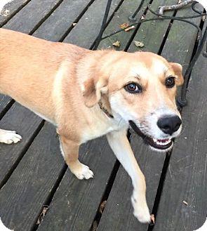 Golden Retriever/Labrador Retriever Mix Dog for adoption in Arlington, Tennessee - Ella
