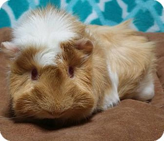 Guinea Pig for adoption in South Bend, Indiana - Holly