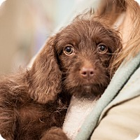 Adopt A Pet :: Lindsey - Dallas, TX