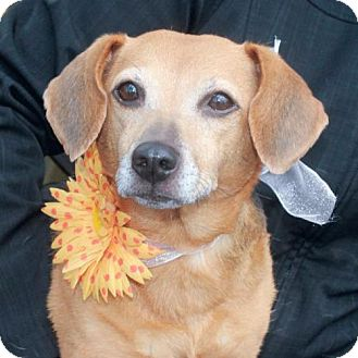 Dachshund/Beagle Mix Dog for adoption in Garfield Heights, Ohio - Emily-PENDING