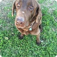 Adopt A Pet :: Brownie - Brattleboro, VT