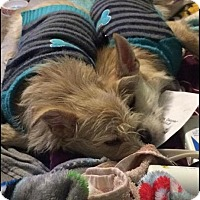 Adopt A Pet :: Sugar and Sparkles are bonded! - Brattleboro, VT