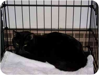 Domestic Shorthair Cat for adoption in Syracuse, New York - Ahab