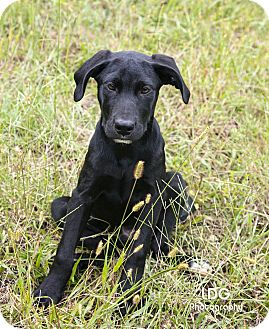 Labrador Retriever Mix Puppy for adoption in Huntsville, Alabama - Chance