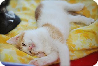 Domestic Shorthair Kitten for adoption in Trevose, Pennsylvania - Popcicle