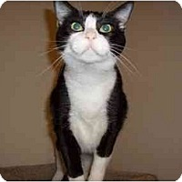 Domestic Shorthair Cat for adoption in Hesperia, California - Jessica