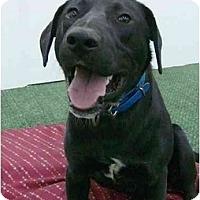 Adopt A Pet :: Ike - Mocksville, NC