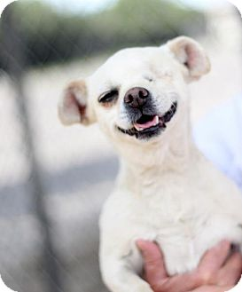 Pug/Chihuahua Mix Dog for adoption in Fresno, California - Mallory