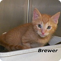 Adopt A Pet :: Brewer - Dover, OH