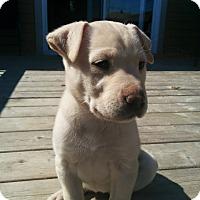 Adopt A Pet :: Storm - Pierrefonds, QC