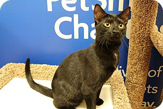 Domestic Shorthair Cat for adoption in Greensboro, Georgia - Brandy