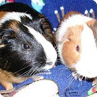 Adopt A Pet :: Hammie - Steger, IL