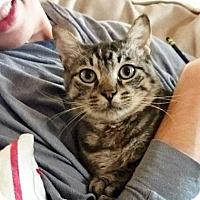 Adopt A Pet :: Bengal - Austin, TX