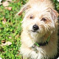 Adopt A Pet :: Fifi - Woonsocket, RI